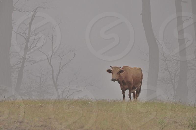 brown cow near tree photo