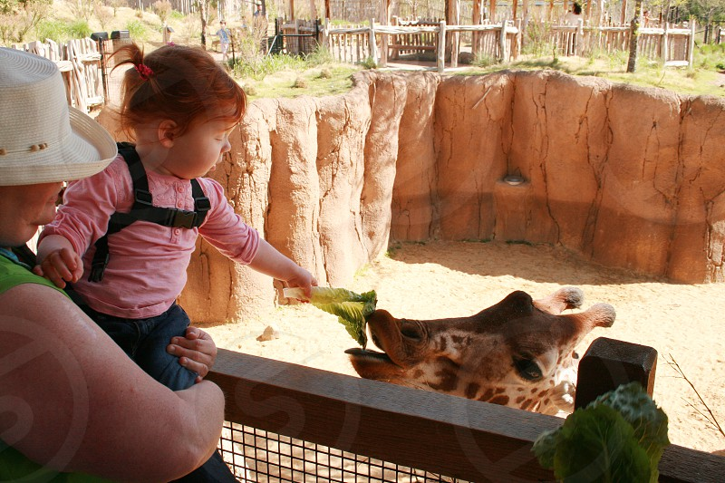Grandmother holding young grand daughter as she feeds lettuce to a giraffe at the Dallas Zoo photo