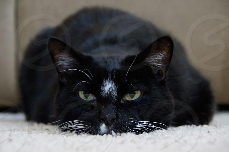 Cat black laying eye level floor photo