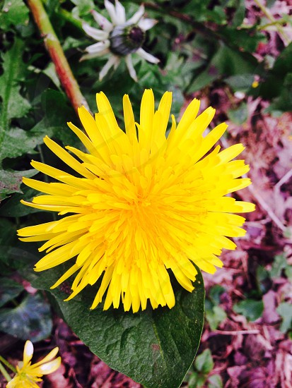 Dandylion in full bloom photo