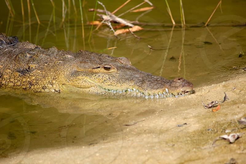 crocodile on swamp photo
