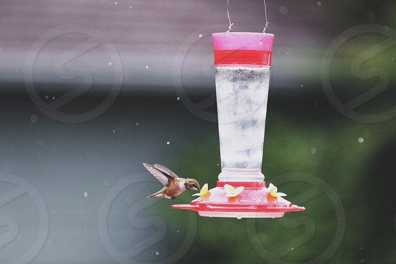 Hummingbird having a nectar snack in the rain.  photo