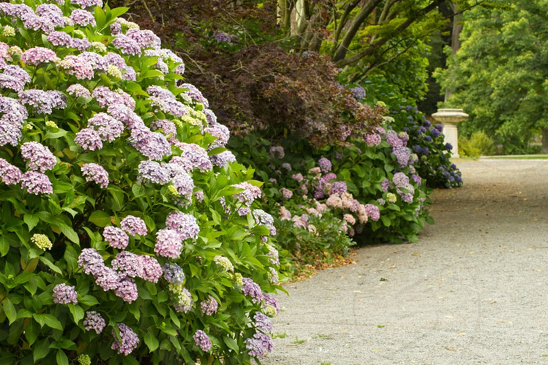 A path through the hydrangea graden in the Christchurch Botanical Gardens.  Christchurch New Zealand photo