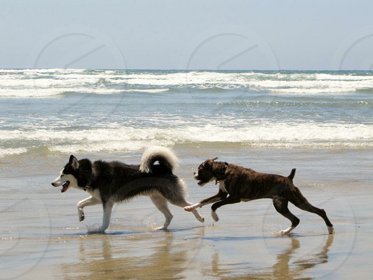 black and white seberian husky running while chased by tan and white boxer nearby body of water photo