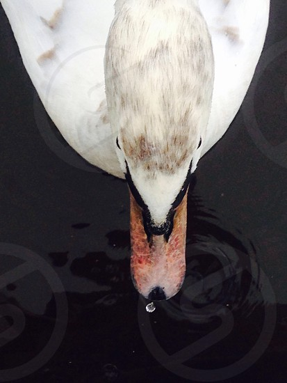 Above a swan on a pond  photo