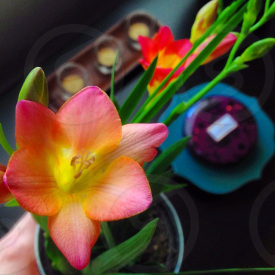 pink and yellow potted flower photo
