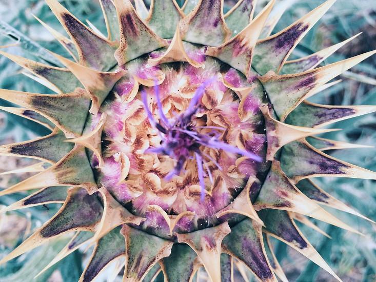 Thistle flower photo