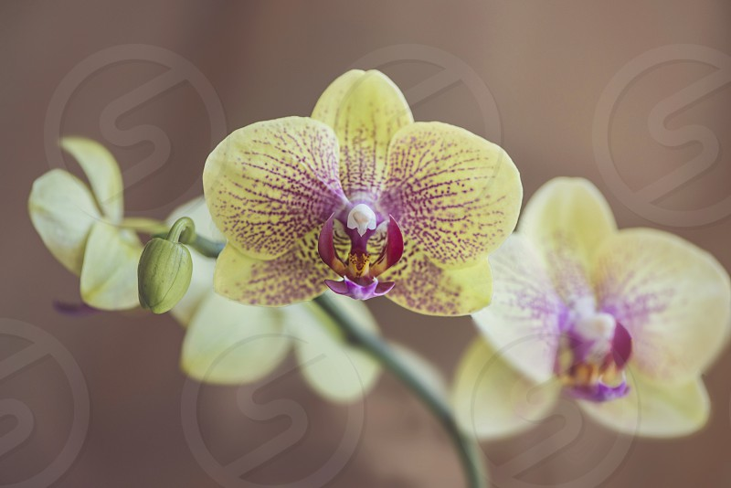 The Queen of flowers Orchid :) photo