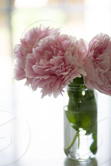 Spring pink peony flowers window sunlight  photo