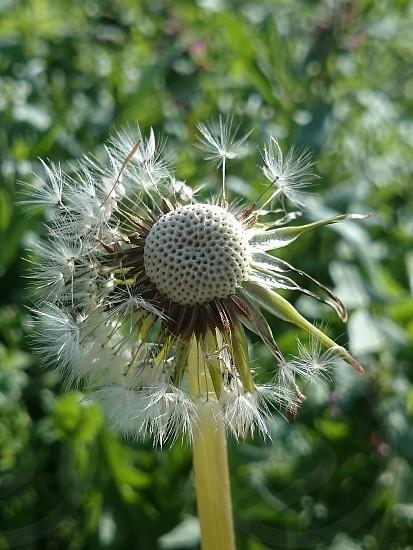 Dandelion om spring winh photo
