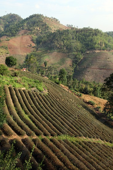 the tea plantations at the village of Mae Salong north of the city Chiang Rai in the province of Chiang Rai in the north of thailand in southeastasia.  photo