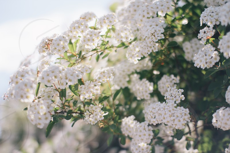 white flowers photo