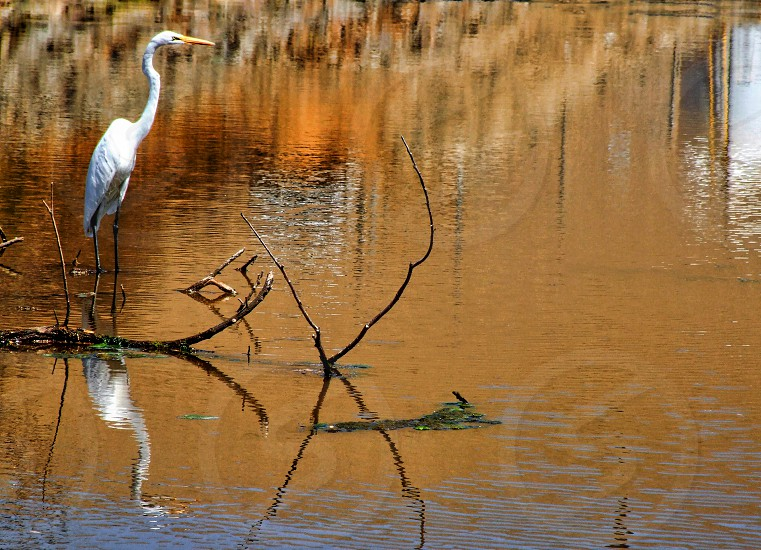 A standing egret is reflected in the water of a small pond photo