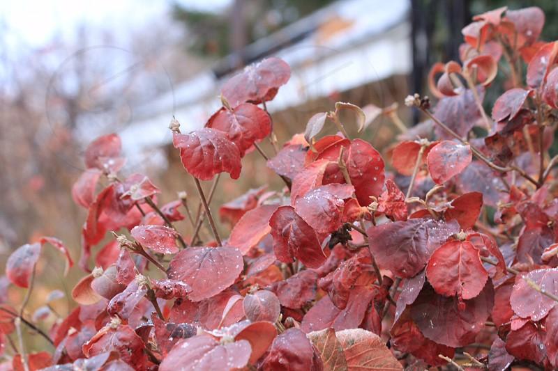 fallwinterfoliageleavesnaturegardenseasonsnowtreeplantbushbokehredred leavesbranchestransitionclose-upclose upmacrominimalminimalistic photo