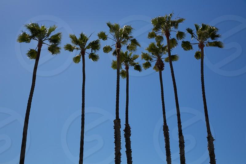 California high palm trees group on blue sky photo