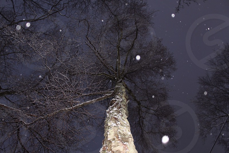 green tall tree with snow fall low angle view photo