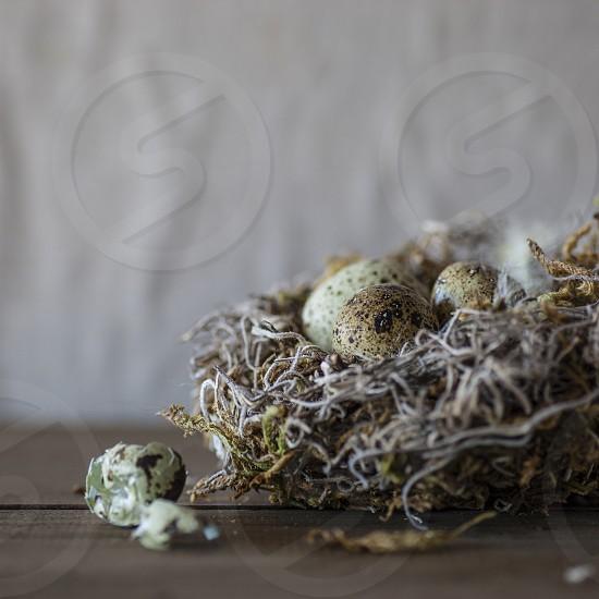 spring new nest home eggs bird feathers fragile mom baby new born photo