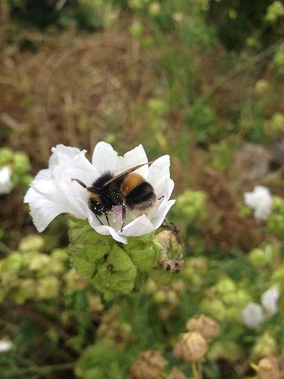 Bumblebee flower bee garden photo