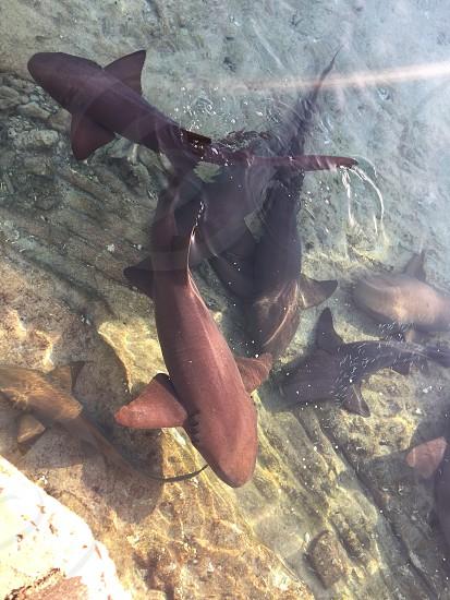 Nurse sharks at Staniel Cay in the Bahamas. photo
