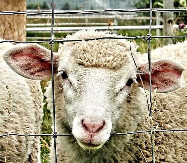 Close-up of a woolly sheep photo