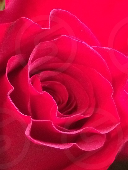 Roses are red  photo