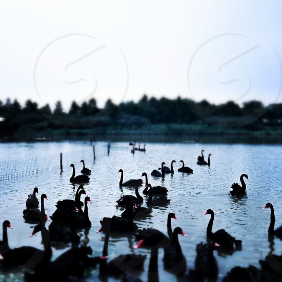 shanghai,chongming ,black swan photo