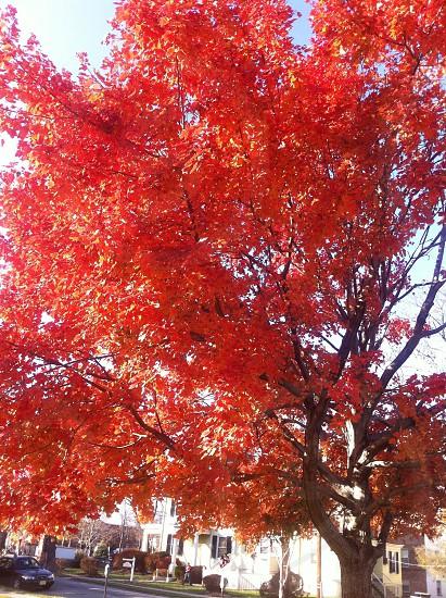 red leaf tree under blue sky over street photo