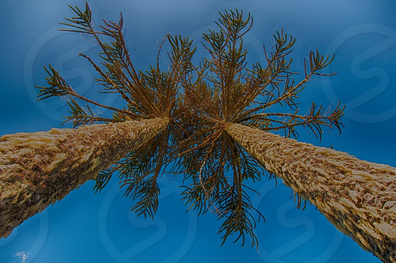 2 tall trees on a low angle photography photo