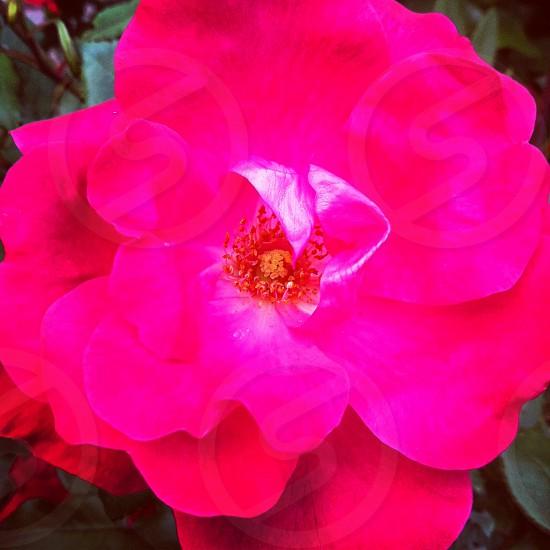 rose pink flower photo
