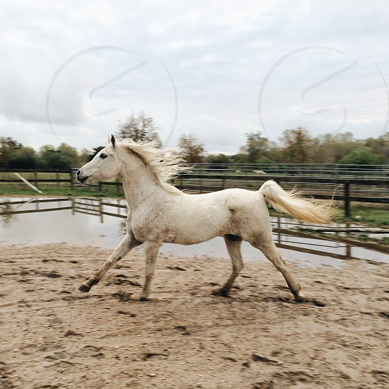 White horse running in a pen photo