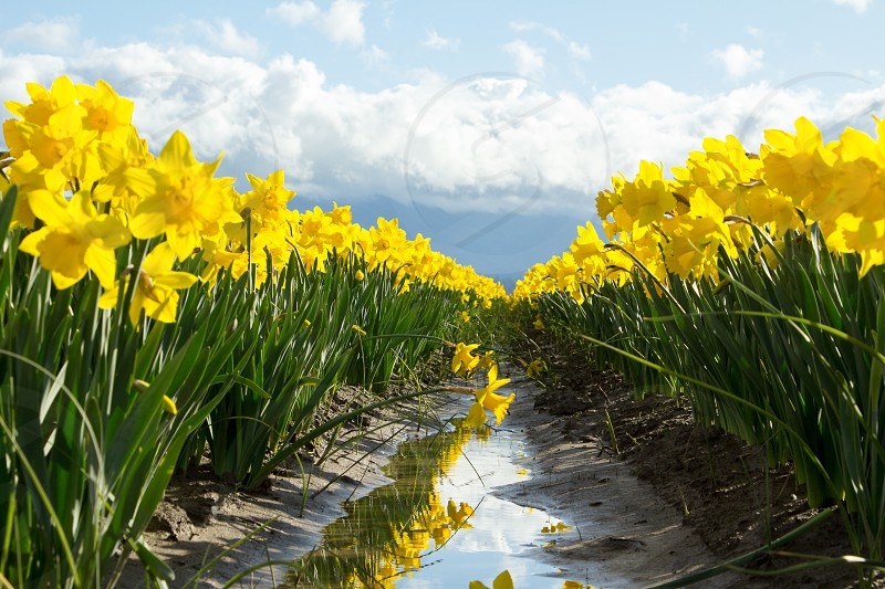 Daffodil field in Skagit Valley photo