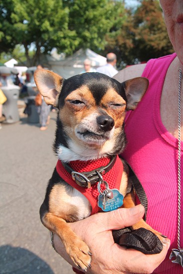 Dog Chiuaua wince grimace smirk pup puppy animal hound pet  photo
