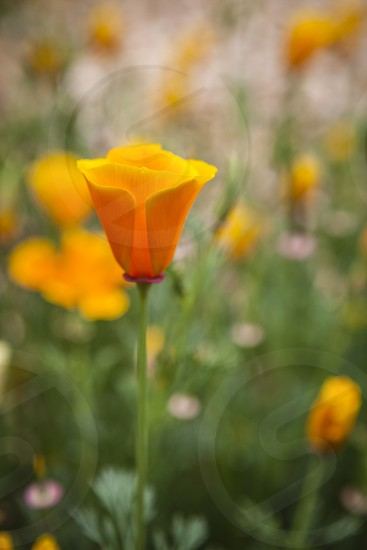 orange poppy California green pink garden wild summer  photo