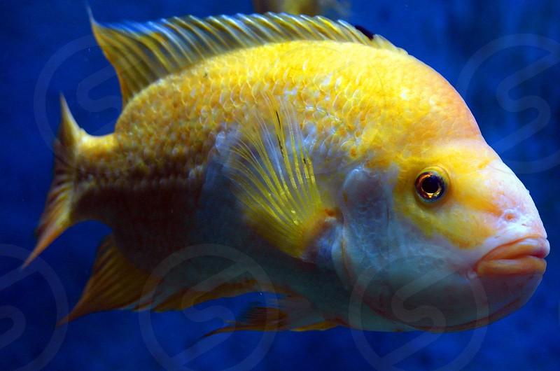 gold and white fish photo