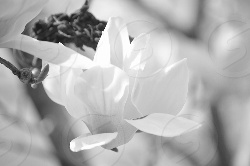 black and white flower black and white pedals magnolia photo