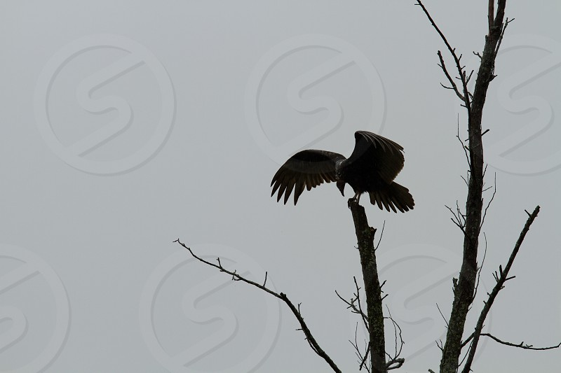 A turkey vulture perched on a branch photo