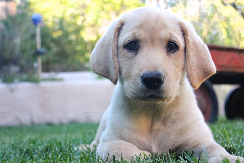 puppy dog wagon photo