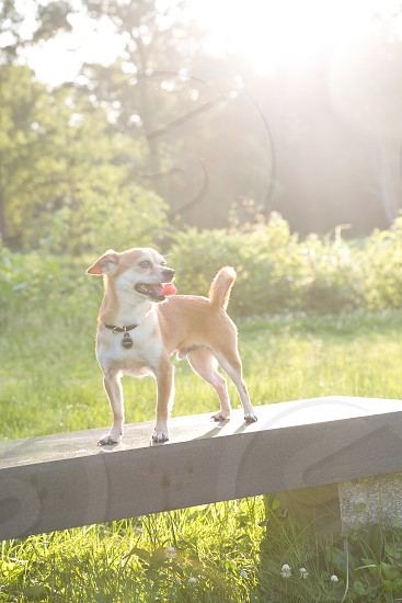 chihuahua small dog sunshine summer grass hot sun backlit bright copy space outdoors dog pet animal tongue bench park bright dog on bench small breed dog small breed sun flare photo