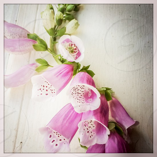 pink and white bell shape flower photo