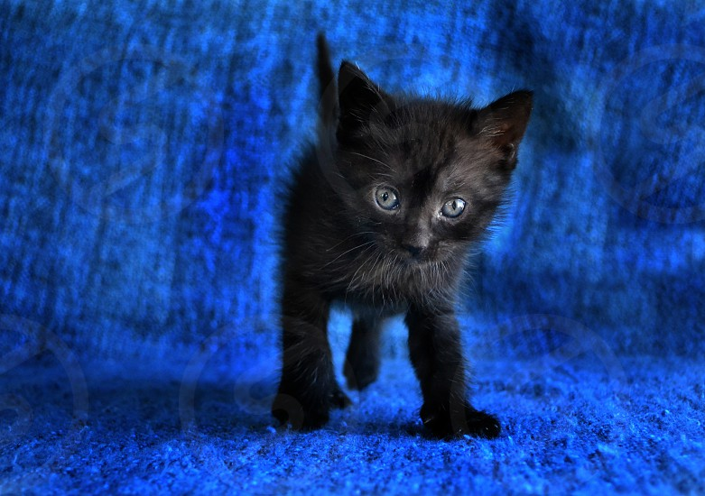 adorable black tabby kitten on blue blanket photo