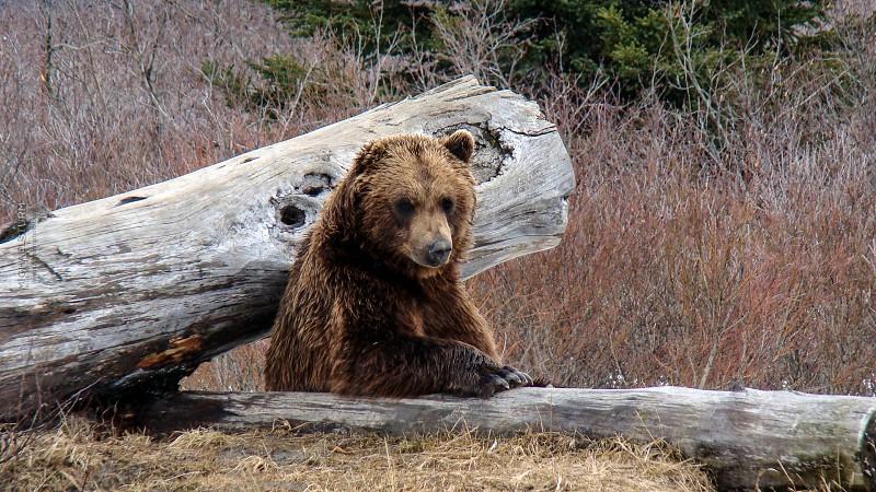 Brown Bear Alaska USA www.msturmphoto.com photo