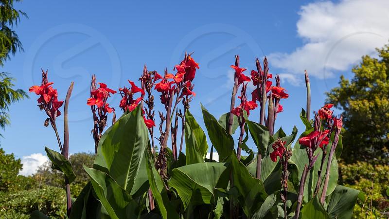 Canna x generalis flowering in New Zealand photo
