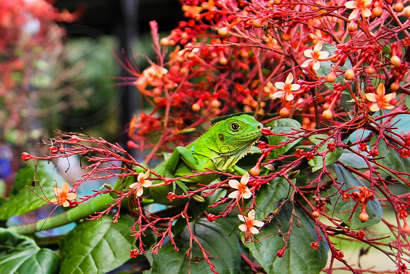 Iguana flowers colorful green red photo