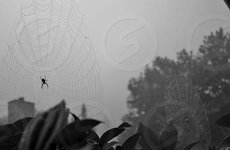 double spider web b&w photo