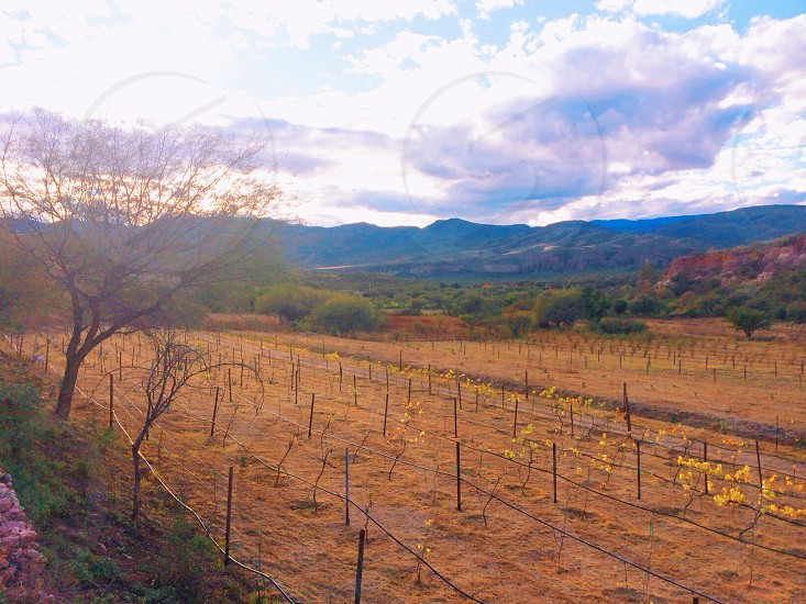 These grapevines grow slowly in Mexico. Slowly but strongly. photo