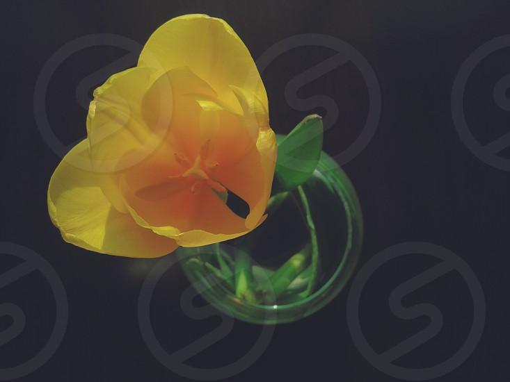 Yellow tulip. photo
