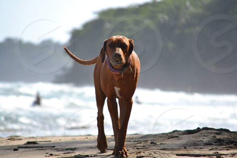 brown and white coonhound on beach photo