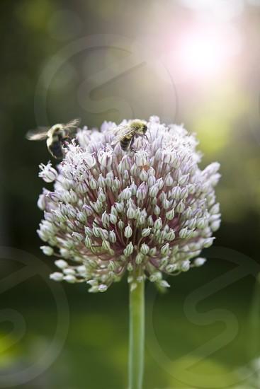 black bee  photo