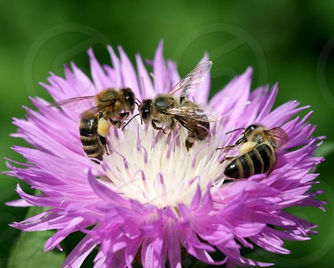three bees photo