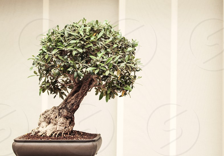 A small Japanese bonsai. photo